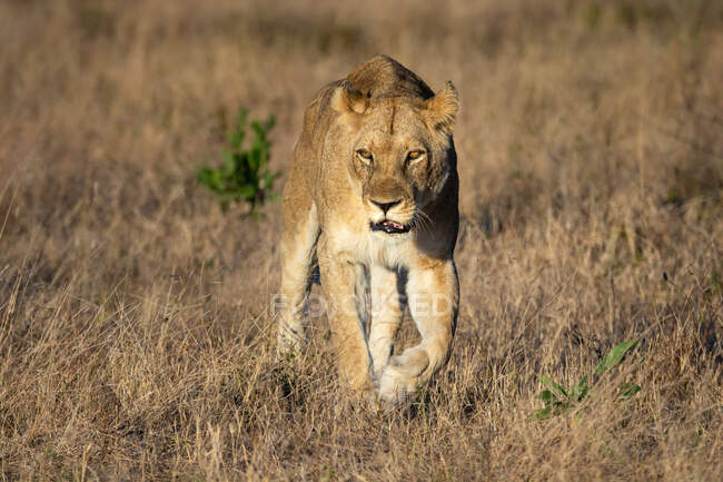 Leoa, Panthera leo, caminhando em direção à câmera, olhando para fora do quadro, grama marrom seca — Fotografia de Stock