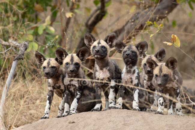 Pack of Wild Dog puppies, Lycaonpictus, on a termite mound, ears forward, looking at camera. — Stock Photo