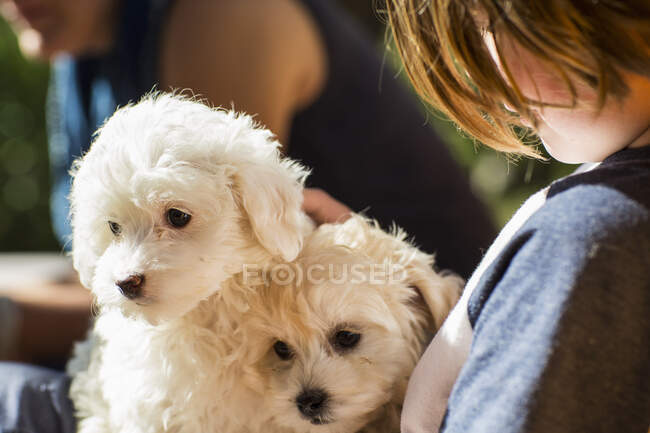 6 year old boy holding two English golden retriever puppies — Stock Photo