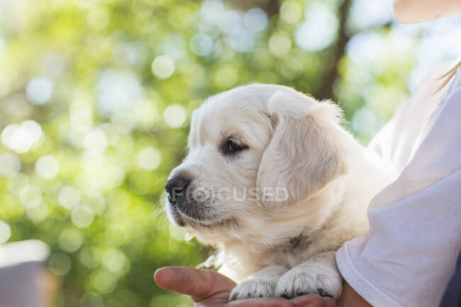 Teenage girl holding golden retriever puppy — Stock Photo