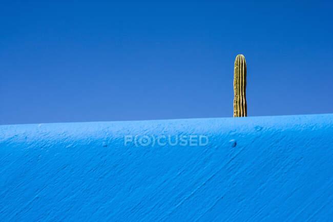Cactus planta que se eleva por encima de una pared azul y el cielo azul brillante - foto de stock