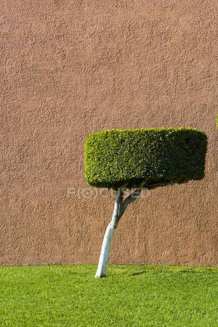 Albero topiarizzato potato con corteccia bianca e foglie verdi, una cima piatta. — Foto stock