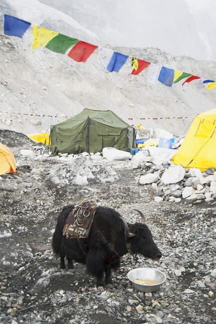 Yak mangiare dalla ciotola al campo base sulle pendici inferiori della gamma Everest — Foto stock