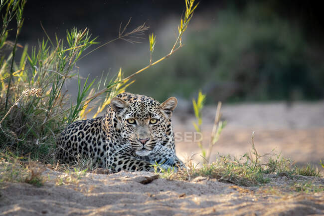 A female leopard, Panthera pardus, lies in sand, direct gaze, ears forward. — Stock Photo