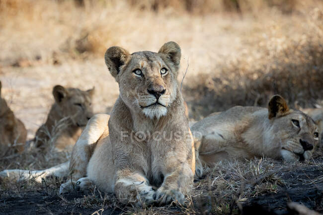 A lioness, Panthera leo, lies down and gazes up. — Stock Photo