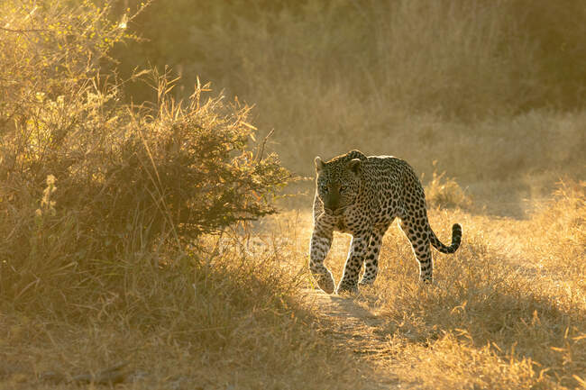 A leopard, Panthera pardus, walks in short grass in golden light, backlit. — Stock Photo