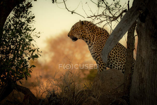 A male leopard, Panthera pardus, sits down, side profile against orange backdrop. — Stock Photo