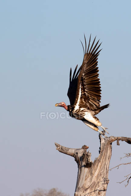 A lapped-faced vulture, Torgos tracheliotos, takes off from a dead tree, wings out, side profile. — Stock Photo