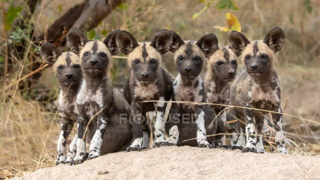A pack of wild dog puppies, Lycaon pictus, sit together on a termite mound, direct gaze — Stock Photo