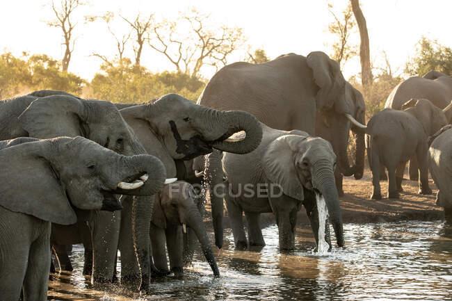 Troupeau d'éléphants d'Afrique, Loxodonta africana, buvez dans un trou d'eau au coucher du soleil sous une lumière douce. — Photo de stock
