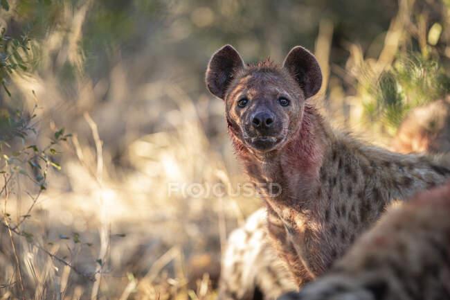 Una iena maculata, Crocuta crocuta, con il viso coperto di sangue, sguardo diretto. — Foto stock