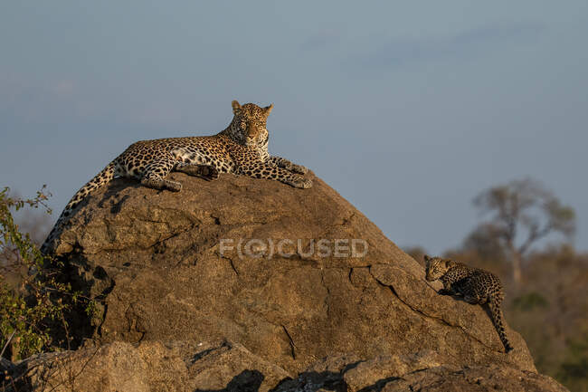 A female leopard, Panthera pardus, amd her cub lie on a rock in the sun. — Stock Photo
