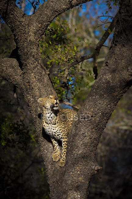 A female leopard, Panthera pardus, stands in the fork of a tree and gazes up. — Stock Photo