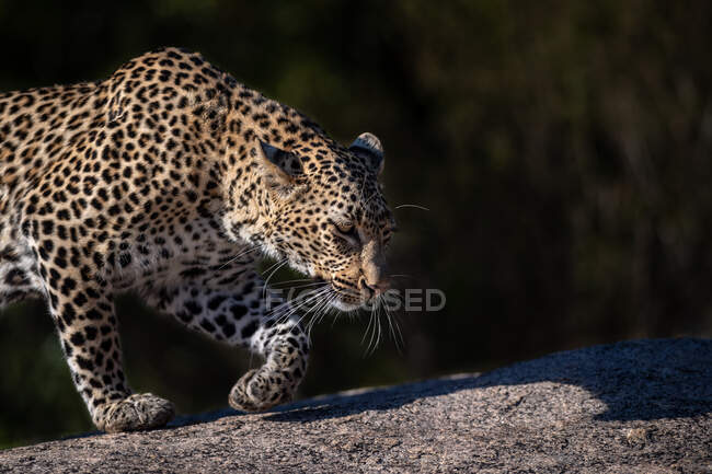 A leopard, Panthera pardus, walks across a boulder, side profile, ears back. — Stock Photo