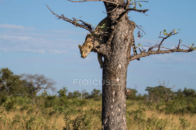 A leopard, Panthera pardus, glances down before jumping out of a tree. — Stock Photo