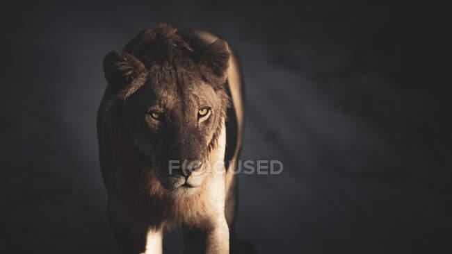 Львица, Пантера Лео, стоя в перламутровом свете и тени — стоковое фото