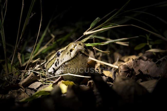 Питон, Python sebae, выглядывает головой из сухих листьев, освещенных прожектором — стоковое фото