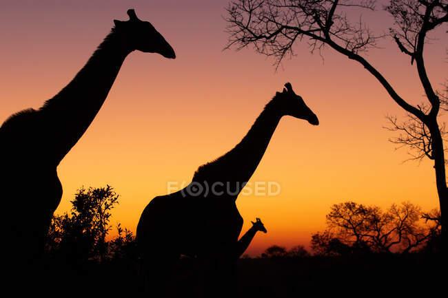 Silhouette di tre giraffe, giraffa giraffa camelopardalis, camminando contro un tramonto di gialli e rosa — Foto stock