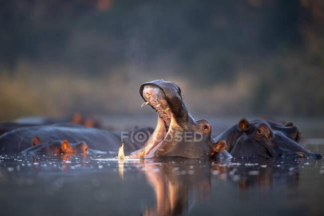 Ippopotami, Ippopotami anfibi, che riposano in un pozzo d'acqua, sbadigliano e aprono la bocca mostrando i denti — Foto stock