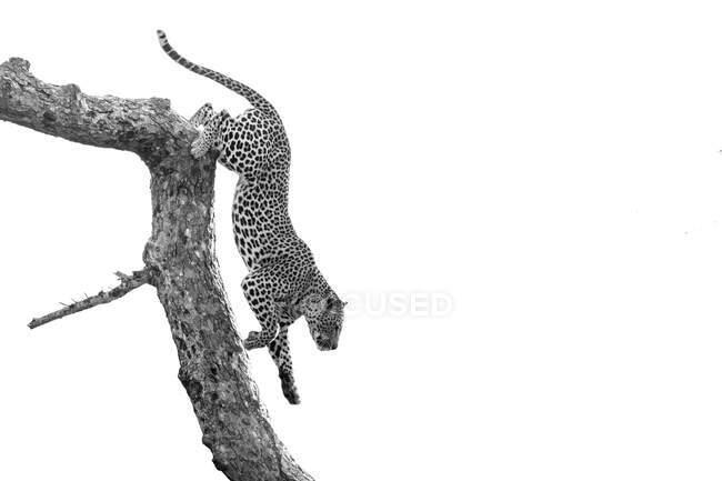 Леопард, Panthera pardus, спускаясь с ветки дерева, черно-белый, белый фон — стоковое фото