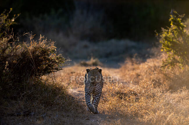 Мужчина леопард, Panthera pardus, идет к камере, подсветка, лапа поднята — стоковое фото