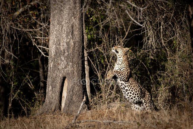 Leopardo, Panthera pardus, saltando para cima em direção a um tronco de árvore, pernas da frente levantadas, olhando para cima — Fotografia de Stock