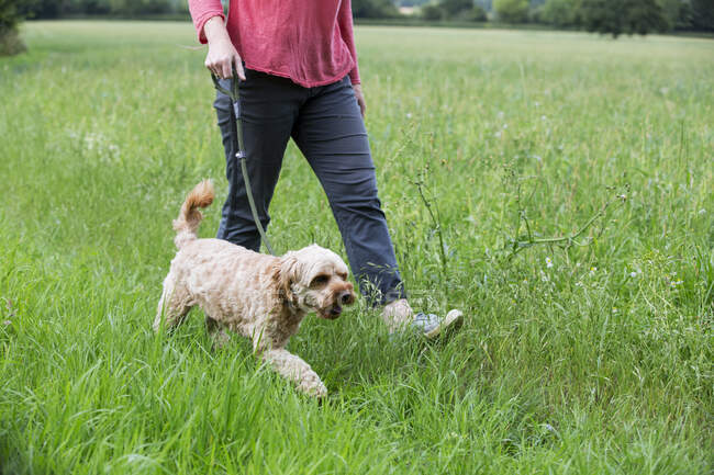 Woman walking in meadow with fawn coated young Cavapoo. — Stock Photo