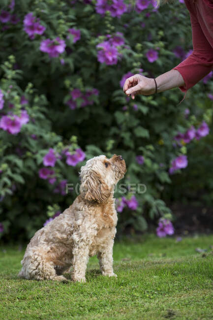 Woman standing in a garden, training fawn coated young Cavapoo. — Stock Photo