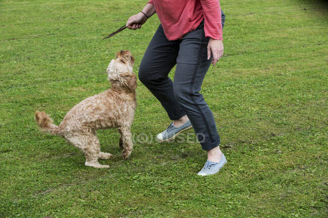 Woman standing in a garden, playing with fawn coated young Cavapoo. — Stock Photo