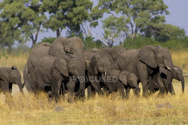 Herd of African Elephants, Loxodonta africana, Moremi Reserve, Botswana, Africa. — Stock Photo