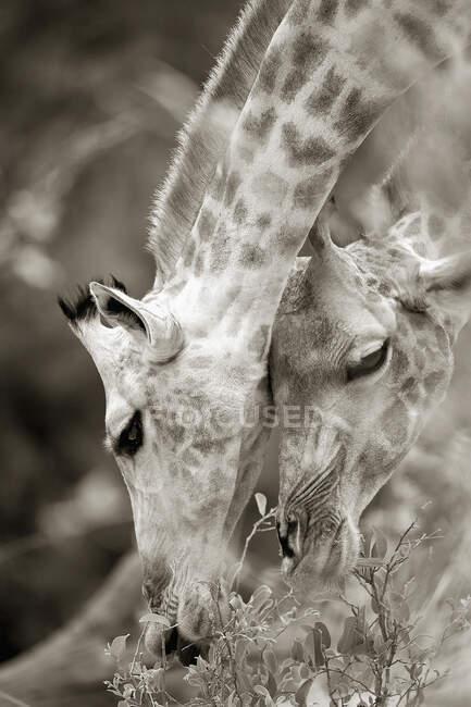 Gros plan sur Girafes sud-africaines, Girafes Camalopardalis, Réserve de Moremi, Botswana, Afrique. — Photo de stock
