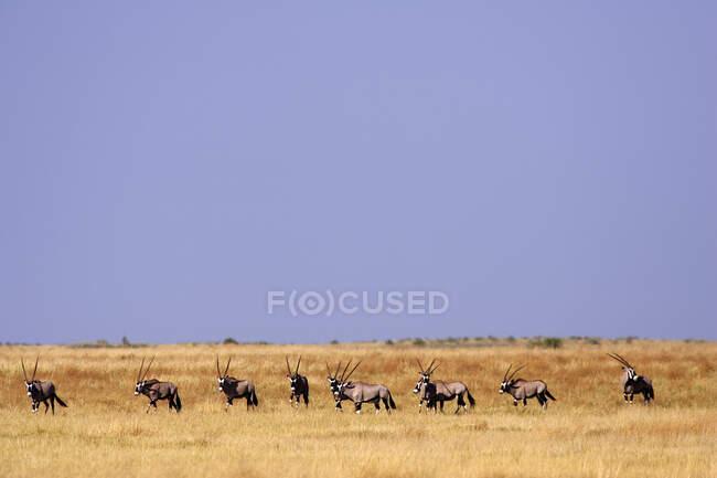 Eine Oryx-Herde auf dem Grasland des Moremi-Reservats, Botswana. — Stockfoto
