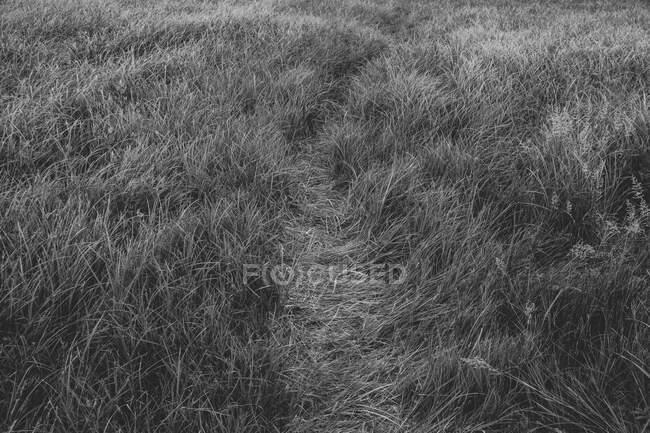 Шлях через поле морської трави, чорно-білий образ. — стокове фото