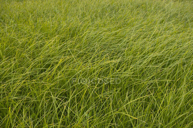 Detail of windswept sea grass, close-up, full frame view — Stock Photo