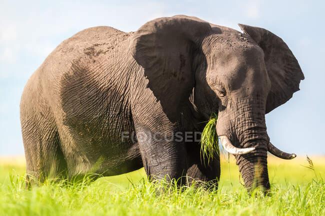 African elephant feeding in the Chobe National Park, Botswana. — Stock Photo