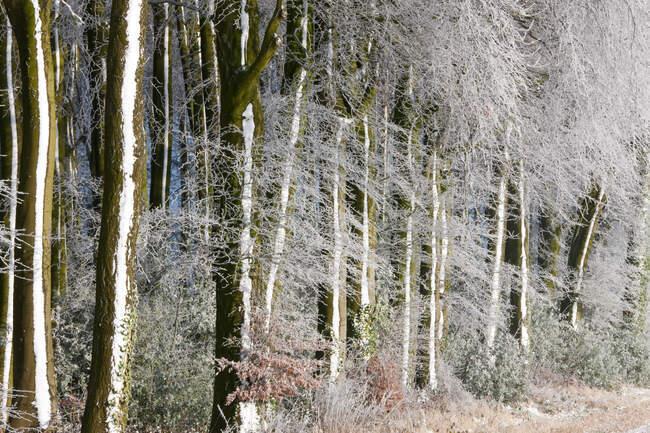 Bosco coperto di neve e gelo, Gloucestershire, Regno Unito. — Foto stock
