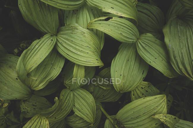 Falso hellebore o lirio de maíz, hojas venosas de color verde oscuro - foto de stock