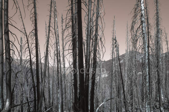 Inverted image of wildfire damaged forest along the Pacific Crest Trail — Stock Photo