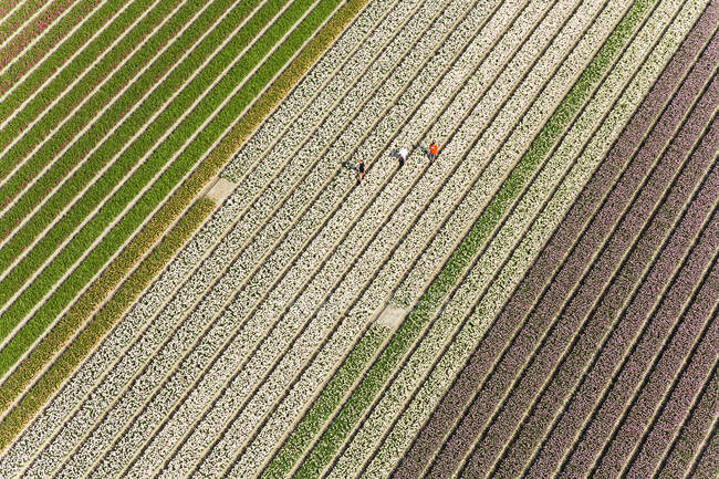 Workers in tulip fields, North Holland, The Netherlands — Stock Photo