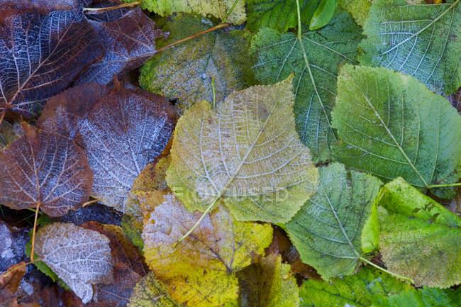 Мороз на осенних листьях, крупный план — стоковое фото