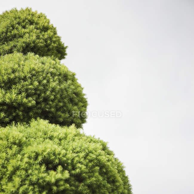 Стопіарій - зелена листяна рослина, розділена на спіральні форми, вид збоку. — стокове фото