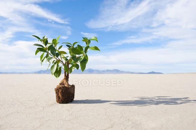 Planta con bola de raíz sobre sal plana. - foto de stock