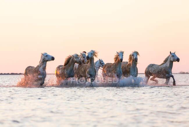 Cavalli bianchi che scorrono nell'acqua, Camargue, Francia — Foto stock