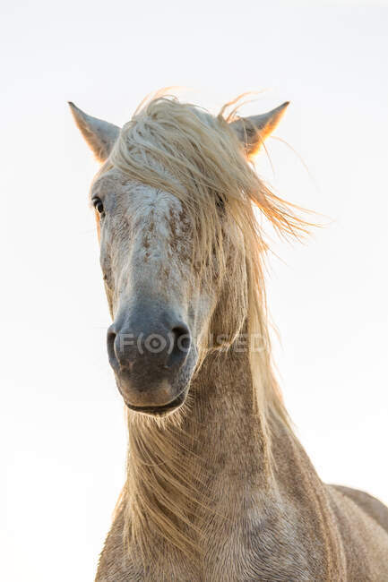 Close-up of white horse, The Camargue, France — Stock Photo