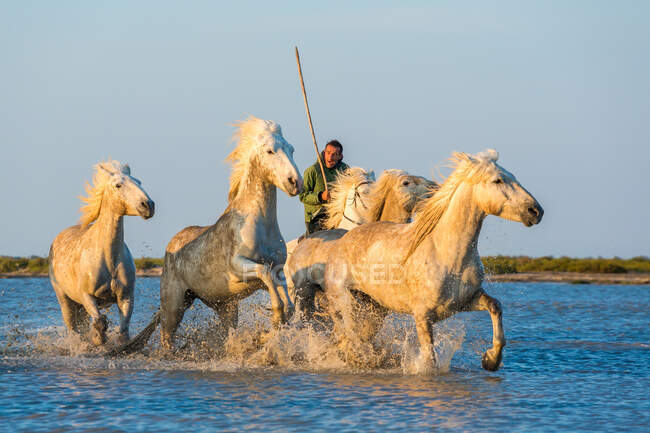 White horses running through water, The Camargue, France — Stock Photo