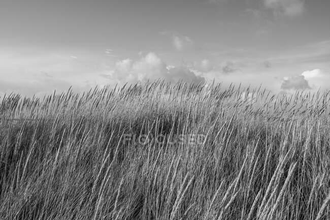 Champ d'herbes marines balayées par le vent au crépuscule — Photo de stock
