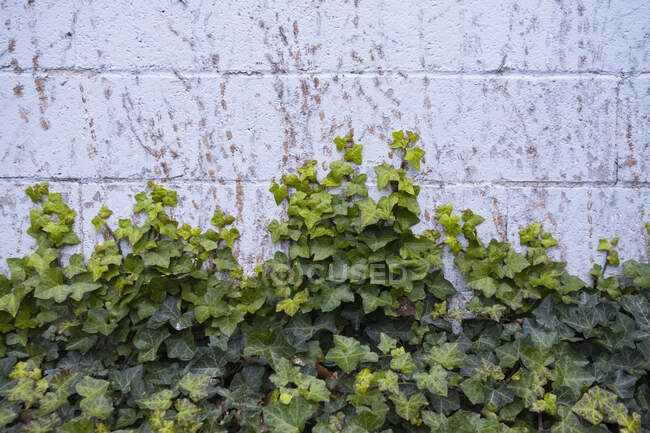 Green ivy plant growing up a wall — Stock Photo
