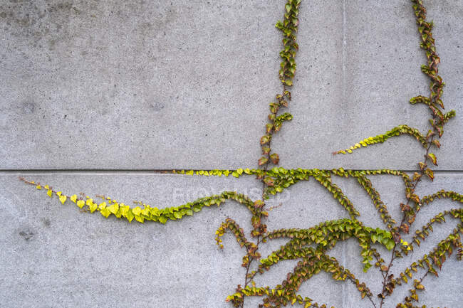 Vine growing along concrete building wall, autumn — Stock Photo