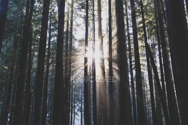 Luce del sole che filtra attraverso gli alberi nel bosco, bagliore della lente — Foto stock