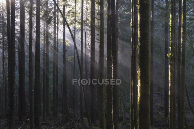 Luce del sole che filtra attraverso boschi, tronchi d'albero dritti — Foto stock